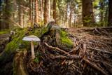 Fototapeta Forest - grzyb © TheMist