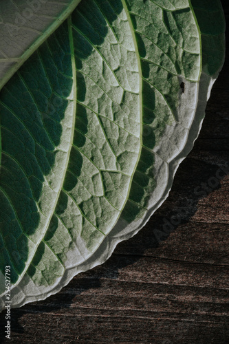 The texture of a green white leaf with veins is similar to the skin of reptiles on a wooden gray background. Contrast light. - 254527793