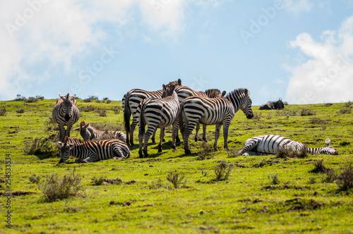 relaxed zebras - 254533534