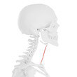3d rendered medically accurate illustration of the Sternohyoid