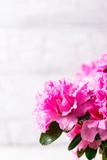Azalea flower on light background