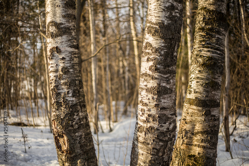 Tree bark. Wood texture. Moss on birch.