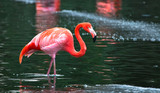 A Caribbean flamingo (also called American flamingo, Phoenicopterus ruber) wading in a pond.