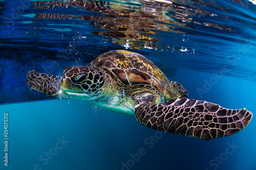 obraz PCV turtle swim in blue sea