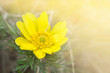 canvas print picture - A large flower of Adonis vernalis on the background of the spring meadow