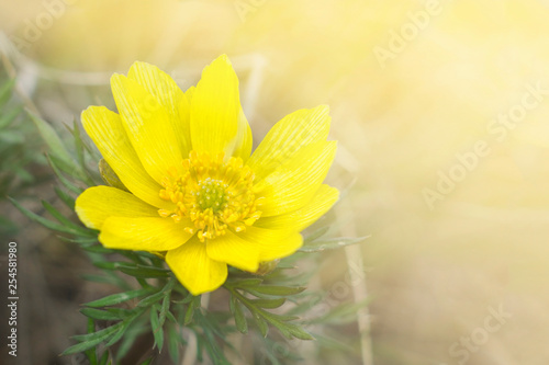 canvas print picture A large flower of Adonis vernalis on the background of the spring meadow