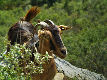 "Постер, картина, фотообои ""Goat looking at the camera in Stimfalia lake in Peloponnese Greece."""