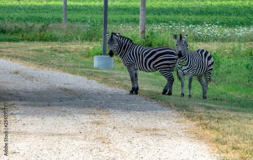 zebra in field - 254595785