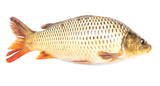 Fish carp isolated on white background