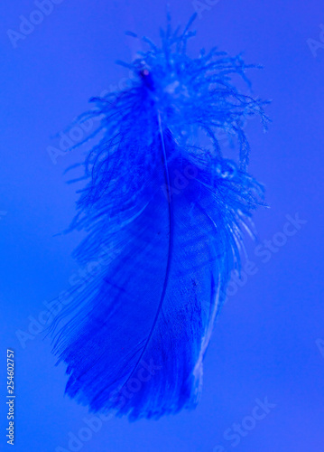 Blue feather isolated on blue background - 254602757