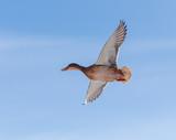 Duck flying in the sky