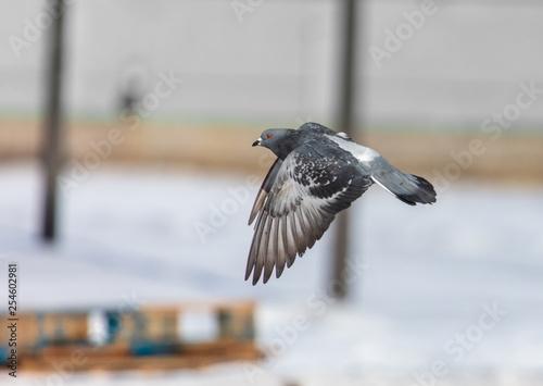 Dove flying in the sky - 254602981