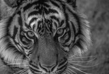 tiger in front of white background