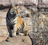young ussurian tiger is sitting on the trunk