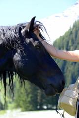 Das Mädchen und das Pferd. Portrait eines schwarzen Kaltblüters der am Kopf gestreichelt wird. Detail
