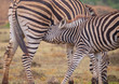 Mother and fowl  Burchell's zebra together.  Baby is feeding off mom. Close up of young reaching for mother's mammal