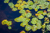 Top view of water lilys on the surface of the Europian pond. Natural texture