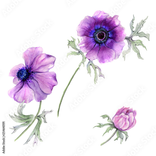 Beautiful anemone flower on a stem with green leaves. Pink and purple flower isolated on white background. Watercolor painting. © katiko2016