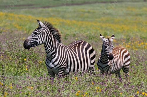Zebra in serengeti national park tanzania africa - 254648311
