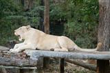 female white lion yawn