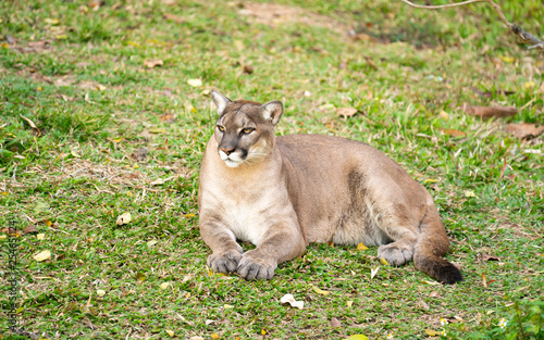 puma or cougar resting on green grass