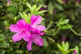 Blooming pink azalea after rain