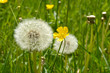 Dandelion fluff or fruitfluff blossom and buttercups in a meadow field