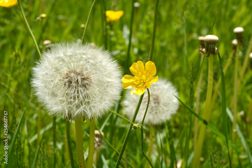 Dandelion fluff or fruitfluff blossom and buttercups in a meadow field - 254667767