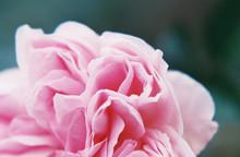"Постер, картина, фотообои ""Rose Petal Macro"""