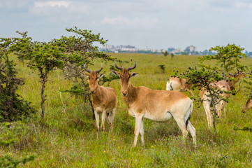 Flock of hirolas grazing in the savannah of Nairobi