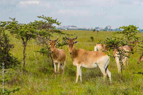 Flock of hirolas grazing in the savannah of Nairobi © Demande Philippe