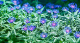 Blue cornflowers in wildflower garden.