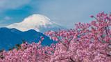 Sakura With Fuji Mountain View Background