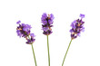 lavender isolated