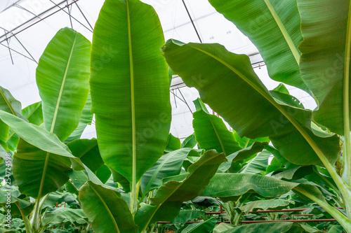 large banana greenhouse inside - 254724598