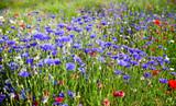 Prairie fleuries au printemps