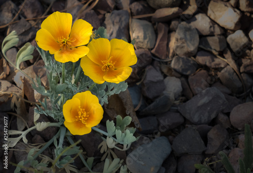Three Poppies - 254736177