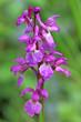 Wild orchid flower