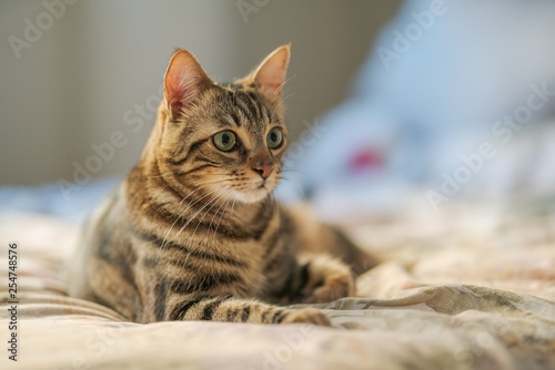 obraz PCV Beautiful short hair cat lying on the bed at home