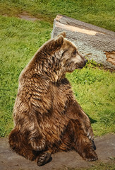 Bear on the Lawn © Sergej Razvodovskij
