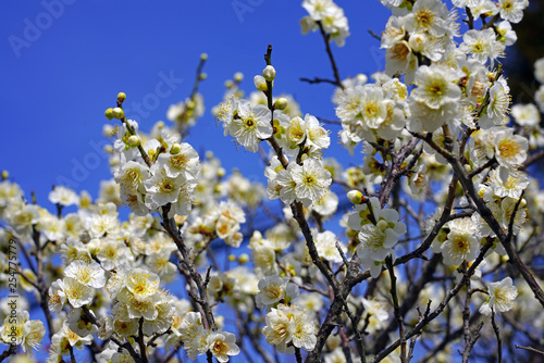 White flower blooms of the Japanese ume apricot tree, prunus mume, in winter in Japan