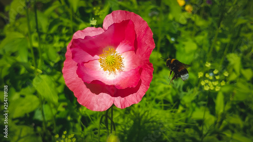 pink poppy with bumblebee in field - 254789138