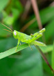 Green grasshopper on blade of grass