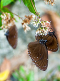 Brown Crow Butterfly Migration in Maolin Taiwan