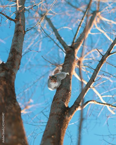Foto Murales A North American Eastern Grey Squirrel in a tree in Washington, D.C.