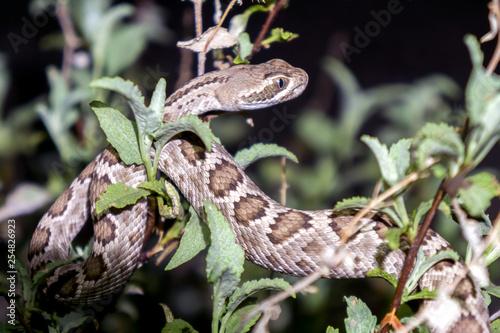 Mojave Rattlesnake In Arizona Desert Venomous Pit Viper Snake