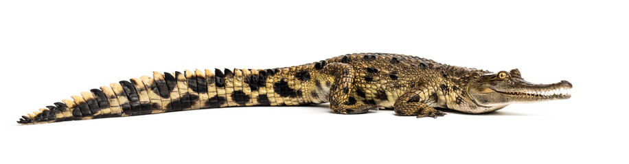 West African slender-snouted crocodile, 3 years old, isolated © Eric Isselée