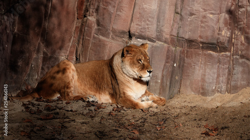 A lion resting in the morning sun.