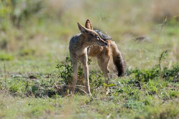 Chacal à chabraque, Canis mesomelas, Afrique
