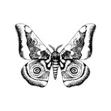 Hand drawn African Emperor Moth - Gonimbrazia Zambezina - 254891743